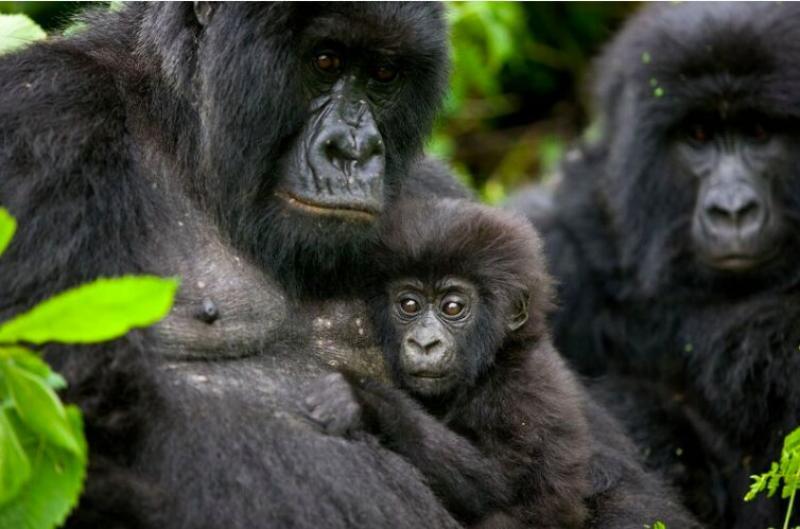 rdc les gorilles de montagne class s parmi la sous esp ce hors danger d 39 extinction au monde. Black Bedroom Furniture Sets. Home Design Ideas